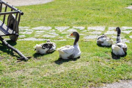 Family of domestic geese grazing on the lawn in the courtyard of the old castle in Rakvere.