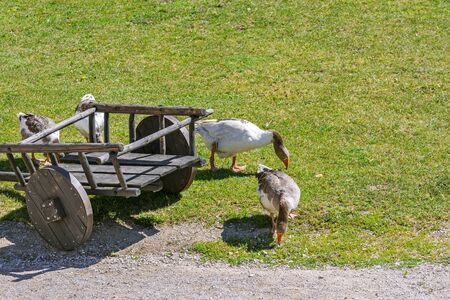 Family of domestic geese grazing near an old cart on the lawn in the courtyard of the old castle in Rakvere. 스톡 콘텐츠