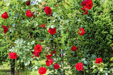 Rose bushes with bright red flower buds on the background of green leaves in Kadriorg city Park in Tallinn. 스톡 콘텐츠