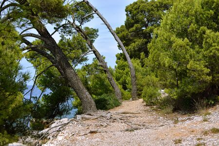 Path in the forest. Old mighty trees leaned toward the sea on the Istrian peninsula in Croatia.