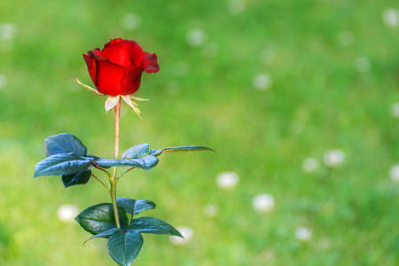 Bud of a bright red rose with blossoming petals, illuminated by the rays of the morning sun against the backdrop of a green lawn.