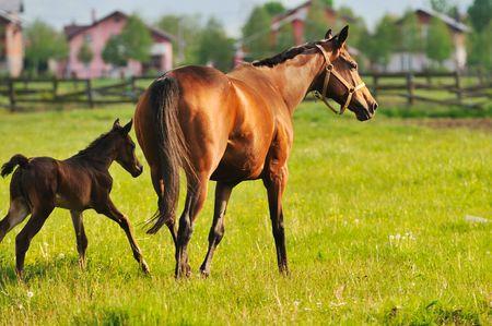 caballo bebe: hermoso caballo en la naturaleza de ejecuci�n y han relatinship familia Foto de archivo