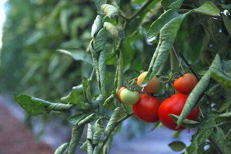 tomatto: fresh tomatto in greenhouse    Stock Photo