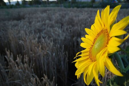 sunflower closeup with wheat in background        photo