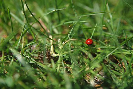 ladyfly:                 ladybird  on grass