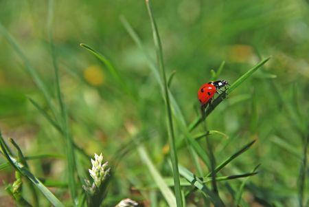 ladybird  on grass                       Stock Photo - 5282980