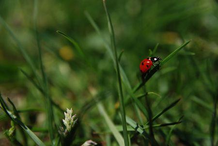ladybird  on grass Stock Photo - 5282091