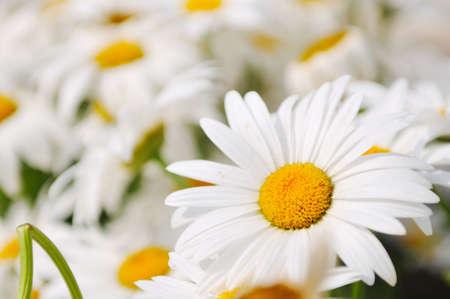 daisy flower backgorund closeup  photo