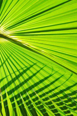 green fresh leaf of  palm background closeup