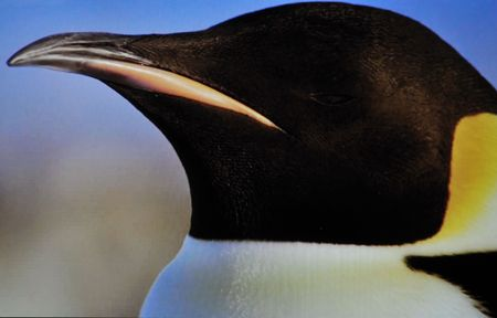 penguin animoal on ici and cold weather photo
