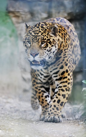 big wild cat animal in zoo photo
