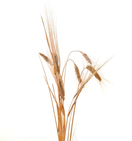 wheat plant isolated on white background representing agriculture concept photo