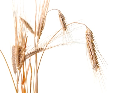 dry grass: wheat plant isolated on white background representing agriculture concept