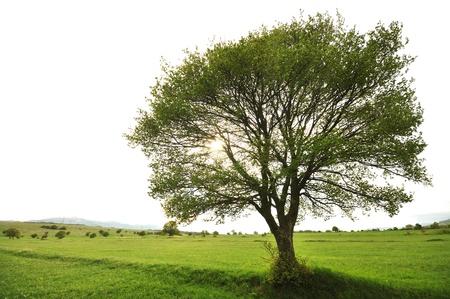 arboles frondosos: lonley árbol en el paisaje