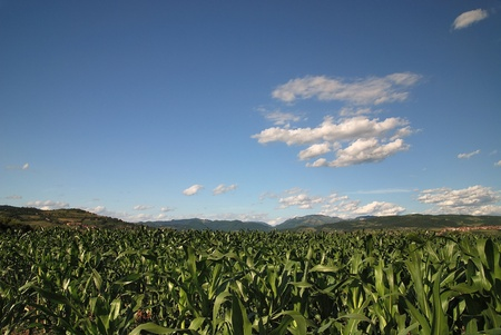 sunny day at field of corn and dramatic sky photo