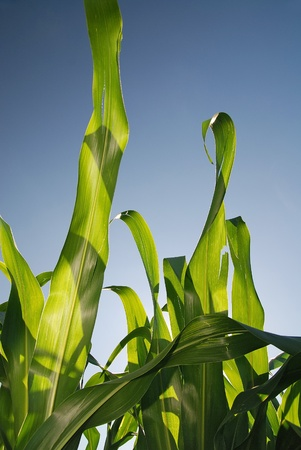 corn flour: sunny day at field of corn and dramatic sky