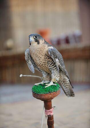arabic bird falcon predator with sharp vision photo