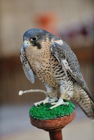 arabic bird falcon predator with sharp vision Stock Photo - 13112653