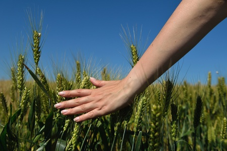 Hand in wheat field  Harvest and gold food concept photo