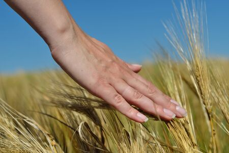 Hand in wheat field. Harvest and gold food concept photo