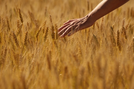 agriculture wallpaper: Hand in wheat field  Harvest and gold food agriculture  concept