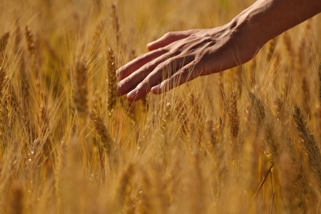 Hand in wheat field  Harvest and gold food agriculture  concept Stock Photo - 15161779