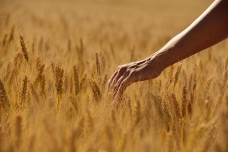 Hand in wheat field  Harvest and gold food agriculture  concept photo