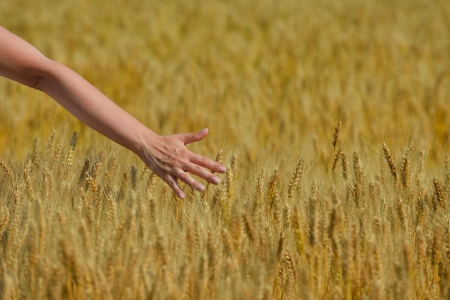 Hand in wheat field. Harvest and gold food agriculture  concept photo