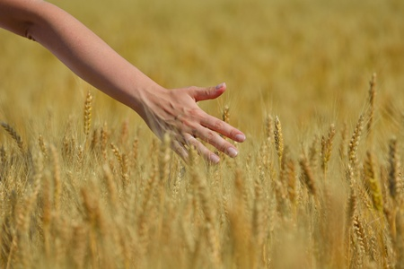 Hand in wheat field. Harvest and gold food agriculture  concept Stock Photo - 15243143