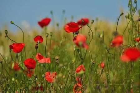 Field of Corn Poppy Flowers field background  Papaver rhoeas in Spring Stock Photo - 15242632