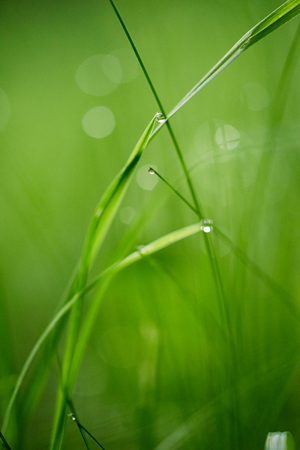nature green: Grass. Fresh green grass with dew drops closeup. Sun. Soft Focus. Abstract Nature Background Stock Photo