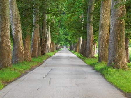 roadway: road with trees on fresh summer morning in beautiful  alley