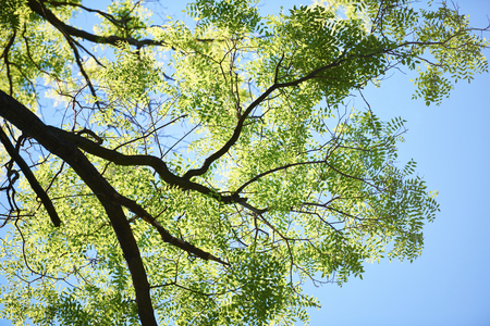 blue sky: green tree brances frame corner  with blue sky and sun flare in background
