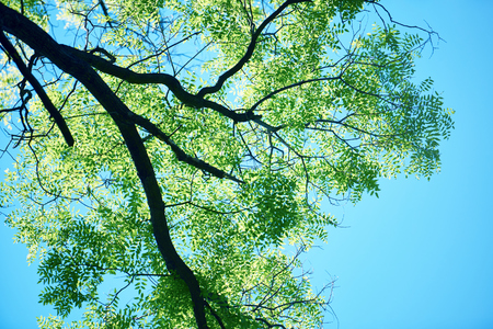 white clouds: green tree brances frame corner  with blue sky and sun flare in background