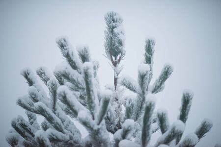 evergreen: christmas evergreen spruce pine tree in nature  covered with fresh snow, frost and ice