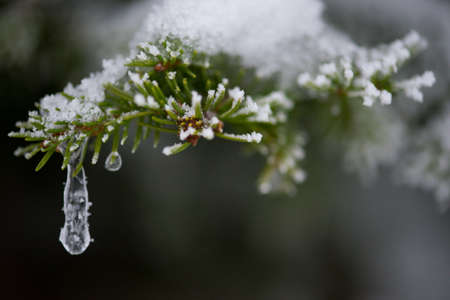 arbol de pino: christmas evergreen spruce pine tree in nature  covered with fresh snow, frost and ice