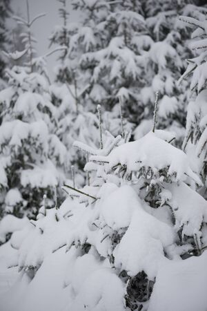tree branch: christmas evergreen spruce pine tree in nature  covered with fresh snow, frost and ice