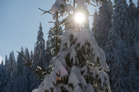 snow tree: winter sunset, pine tree forest  background  covered with fresh snow Stock Photo