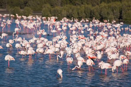 nakuru: Flock of adorable pink flamingos. Exotic birds standing in a shallow lake.