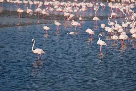 Flock of adorable pink flamingos. Exotic birds standing in a shallow lake. 版權商用圖片 - 81435396