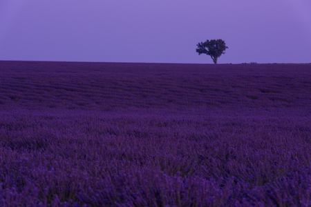 purple lavender flowers field with lonely tree on night at valensole provence france