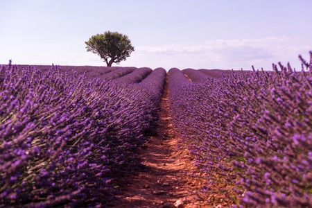 purple lavender flowers field with lonely tree valensole provence france
