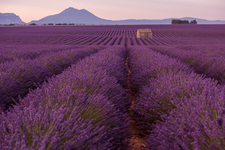purple lavender flowers field with lonely old   abandoned stone house  valensole provence france