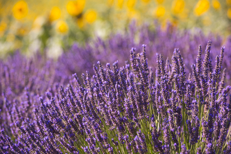 closeup purple lavender field blooming flower with sunlight flare in bacground nature calm scene Imagens