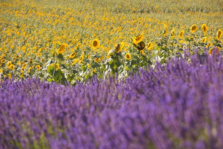 lavender and sunflower field purple aromatic flowers near valensole in provence france Imagens