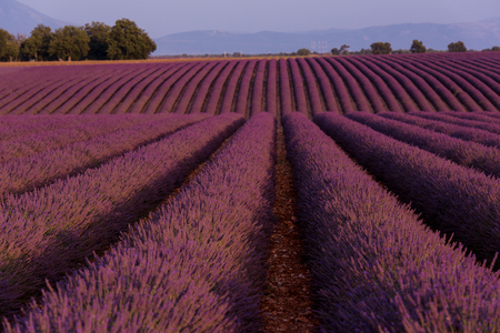 levender field  purple aromatic flowers  near valensole in provence france