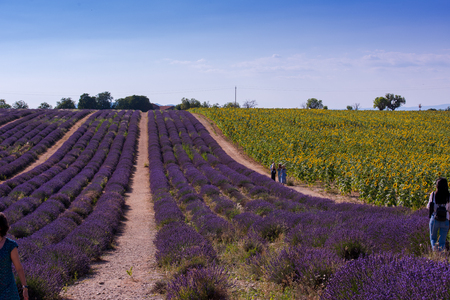 lavender and sunflower field purple aromatic flowers near valensole in provence france