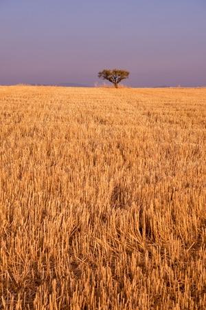 single tree on harvested field of wheat on purple sky in background Standard-Bild - 106865571