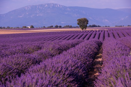levender field purple aromatic flowers near valensole in provence france