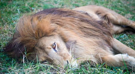 Lion lie on green grass resting